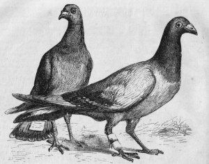 """carrier pigeons"" with messages attached. Harper's New Monthly Magazine, No. 275, April, 1873. via Wikimedia Commons"